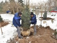 Pomii de Crăciun vor fi vânduți în Chișinău de pe 15 decembrie