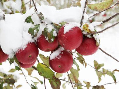 Gustul merelor de sub zăpadă