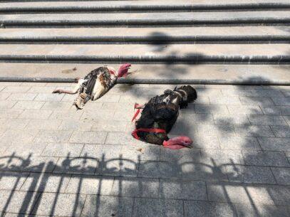 """VIDEO/ Curcani aruncați de PDM-iști peste gardul Președinției. """"Se comportă cu animalele și cu oamenii la fel cum s-ar comporta cu niște gunoaie"""""""