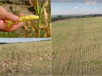 VIDEO/ No comment: Lanuri de porumb, distruse de secetă